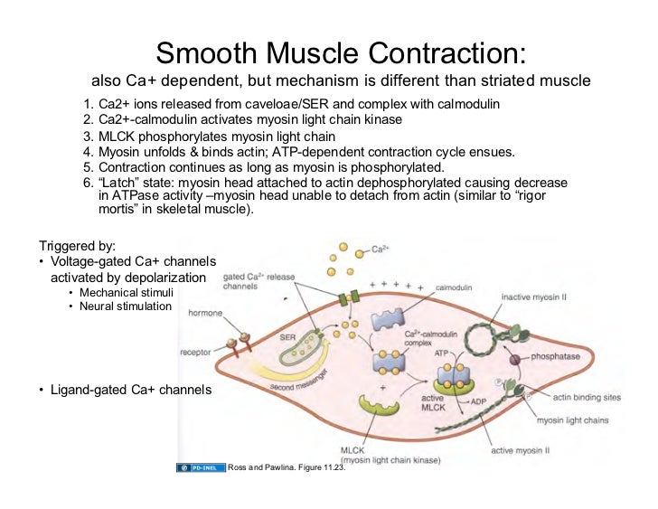 09.15.08: Muscle Tissue