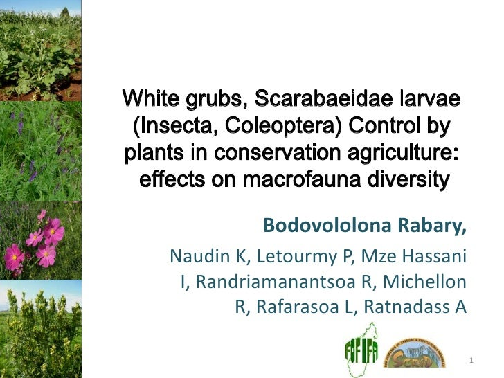 White grubs, Scarabaeidae larvae (Insecta, Coleoptera) Control byplants in conservation agriculture:  effects on macrofaun...
