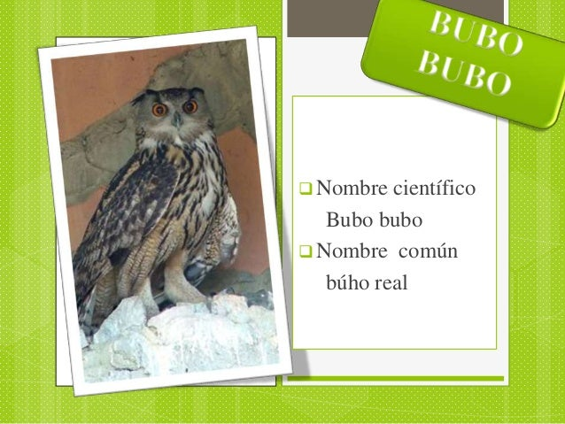  Nombre  científico   Bubo bubo Nombre común   búho real