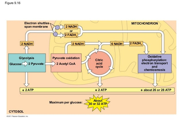 Ch 9 Cell Respiration And Fermentation