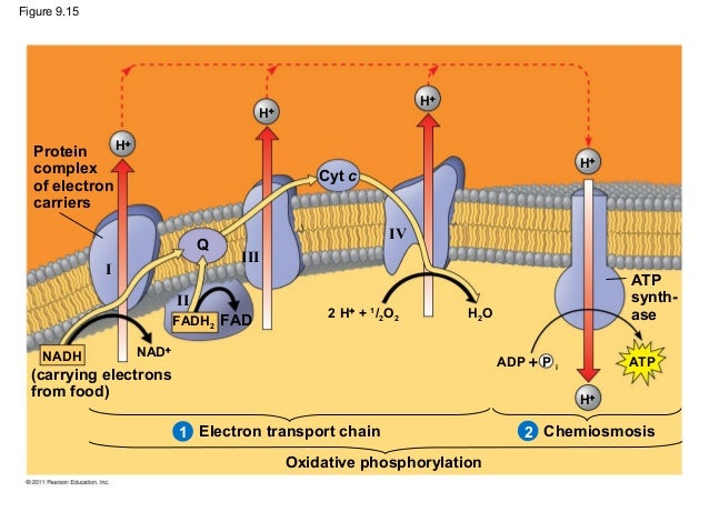 cellular respiration figure Chapter 9: cellular respiration: harvesting chemical energy overview: before getting involved with the details of cellular respiration and photosynthesis, take a second to look at the big picture photosynthesis and cellular respiration are key ecological concepts involved with energy flow use figure 92 to label the missing parts below.