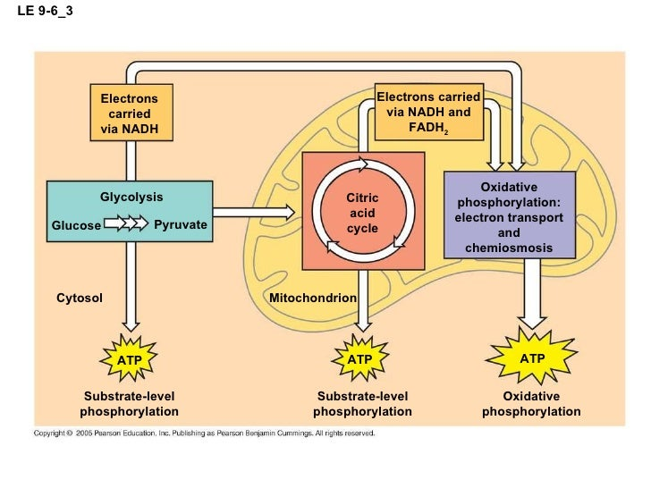 Mitochondria With Atp Cycle Diagram Complete Wiring Diagrams