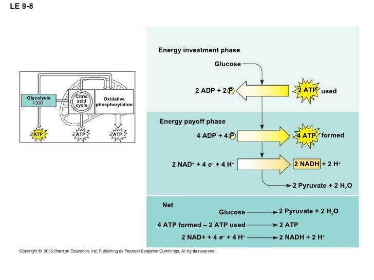 cellular respiration how many atp produced