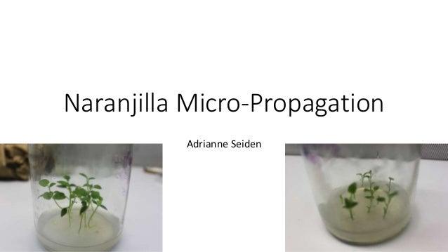 Naranjilla Micro-Propagation Adrianne Seiden