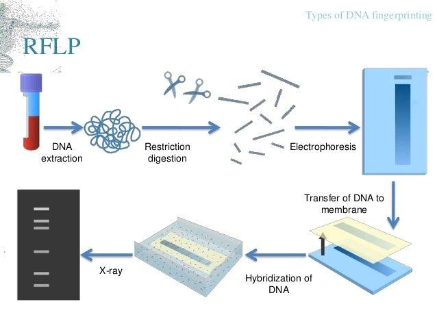 Dna fingerprinting multiplex pcr types of dna fingerprinting ccuart Gallery