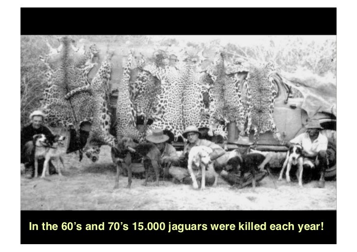 In The 60u0027s And 70u0027s 15.000 Jaguars Were Killed Each Year!