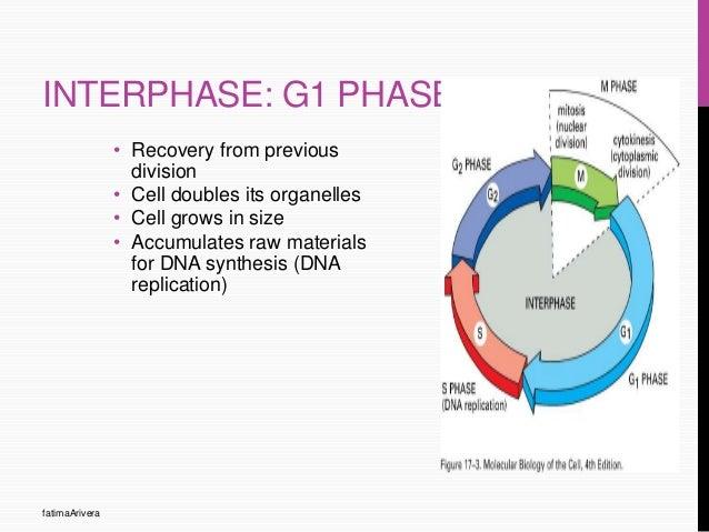 cell cycle G1 Interphase Diagram phase fatimaarivera 6 interphase g1