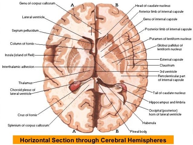 cerebrum sections for revision