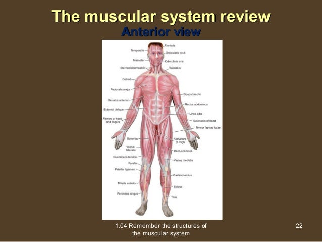 1.04 remember the_structures_of_the_muscular_system, Muscles