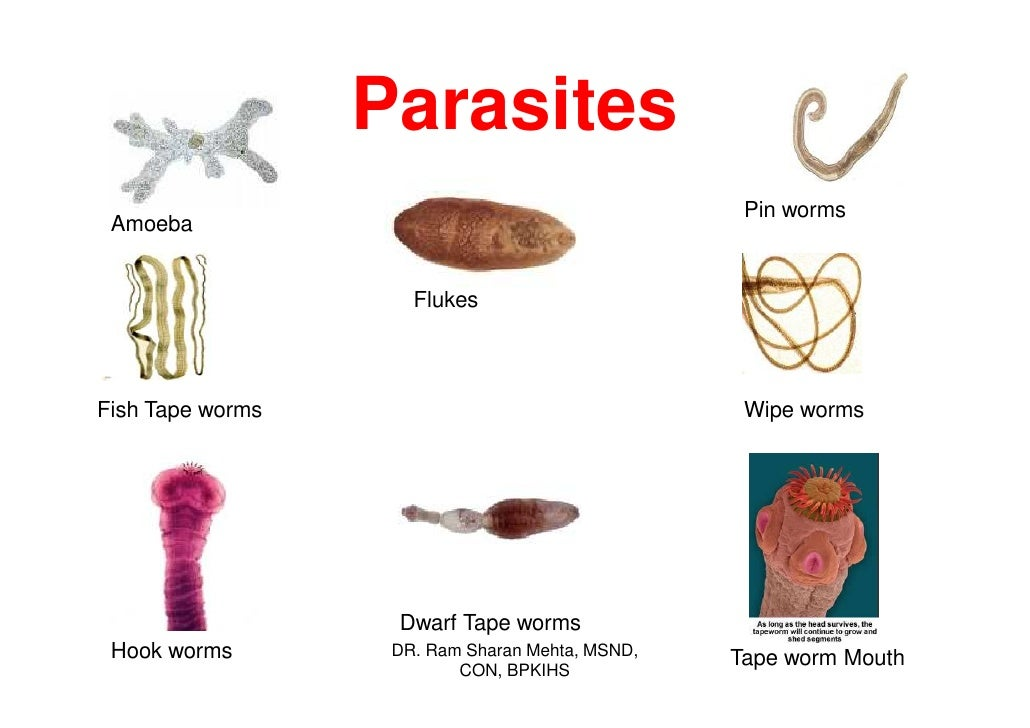 Types of Tapeworms in Humans - Bing images