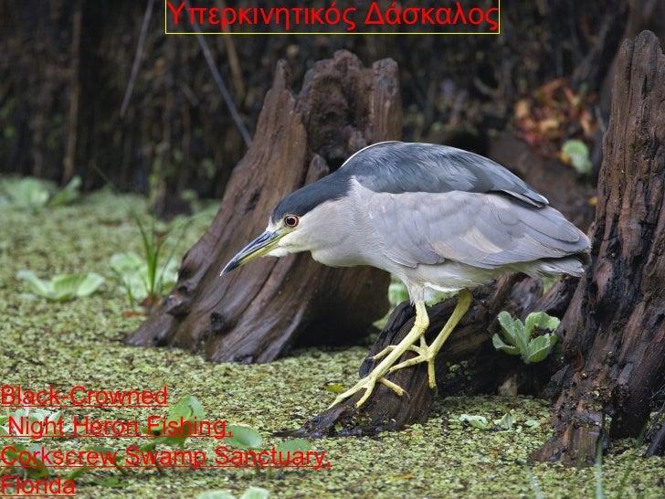 Υπερκινητικός ΔάσκαλοςBlack-CrownedNight Heron Fishing,Corkscrew Swamp Sanctuary,Florida