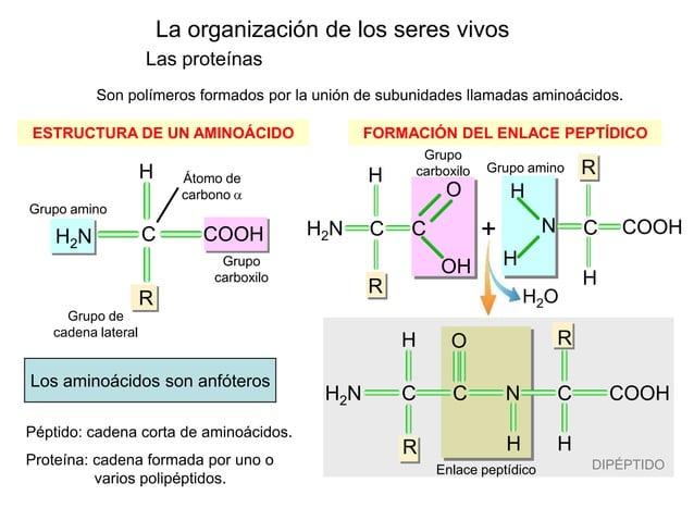 La organización de los seres vivos Las proteínas H2O DIPÉPTIDOEnlace peptídico Grupo amino Son polímeros formados por la u...
