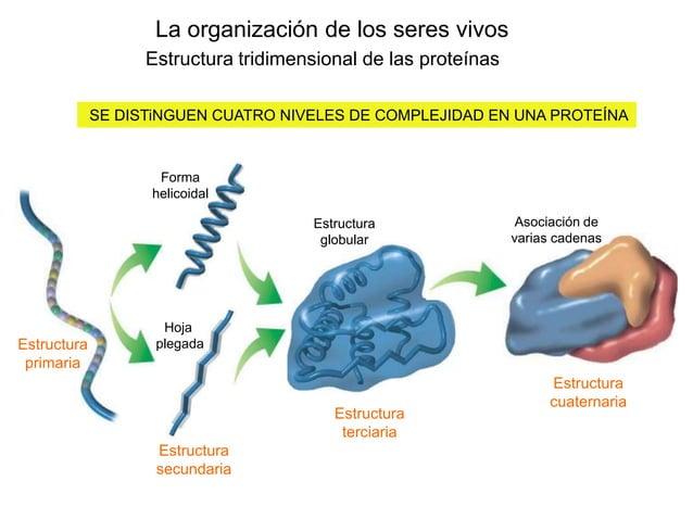 La organización de los seres vivos Estructura tridimensional de las proteínas SE DISTiNGUEN CUATRO NIVELES DE COMPLEJIDAD ...