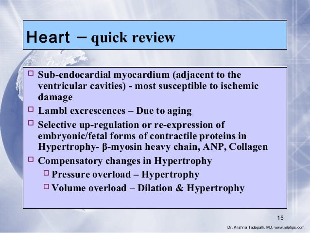 Heart  – quick review   Sub-endocardial myocardium (adjacent to the ventricular cavities) - most susceptible to ischemic ...