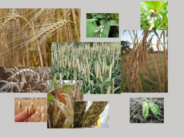 Wheat: The Grain at the Center of Civilization Slide 3