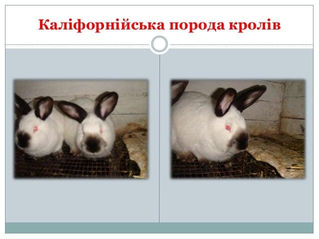 Разведение и продажа кроликов г.Вознесенск Slide 2