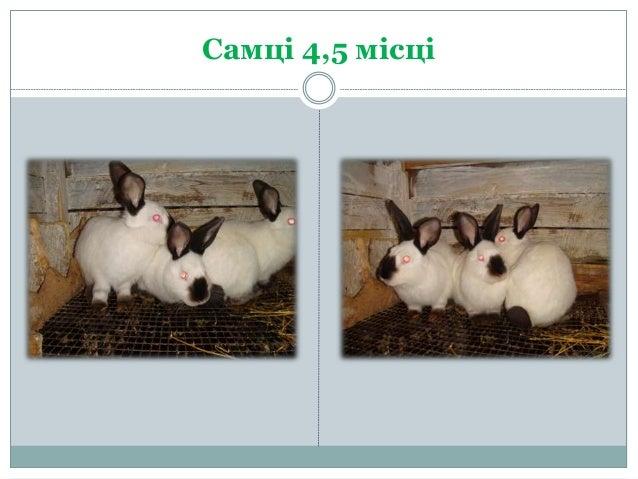 Разведение и продажа кроликов г.Вознесенск Slide 3