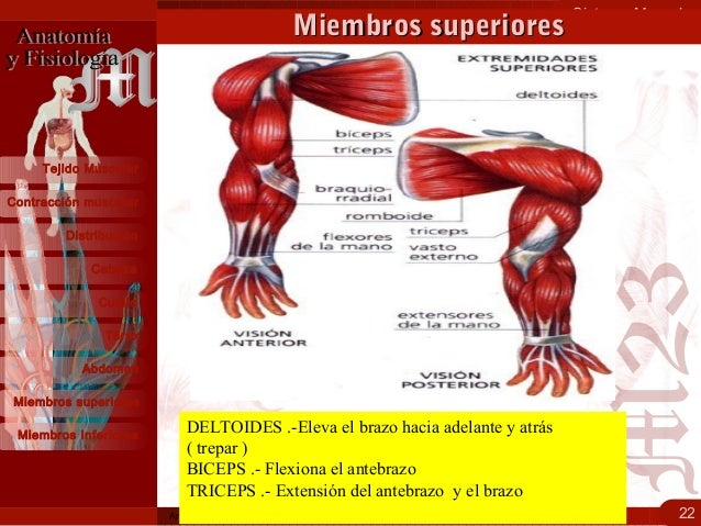 1.3 sistema muscular