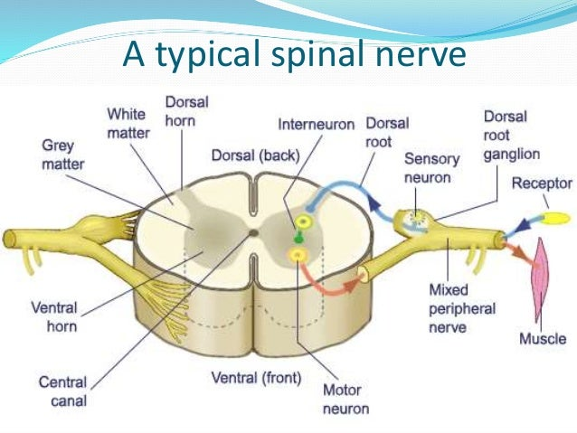 Typical Spinal Nerve Anatomy