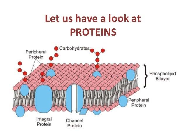 Transport Protein Diagram Wiring Diagrams Best