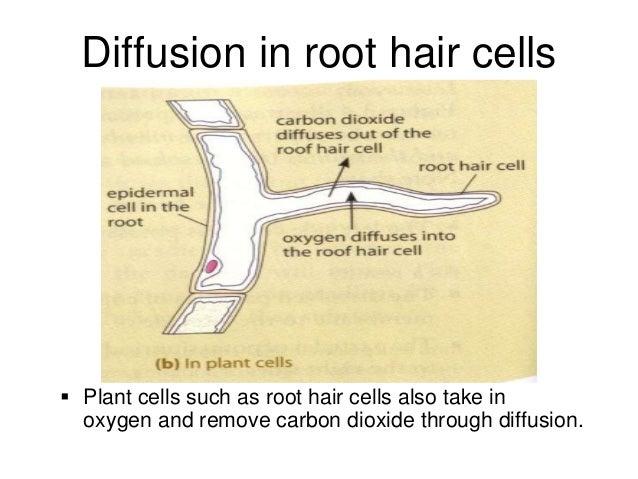 Root Hair Characteristics Diagrams Diy Wiring Diagrams