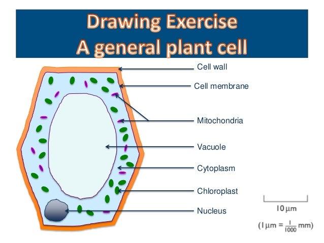 Microscope Mitochondria In Onion Peel Cell Diagram