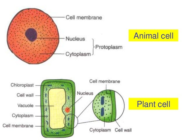 Non-membrane bound organelles: definition & examples video.