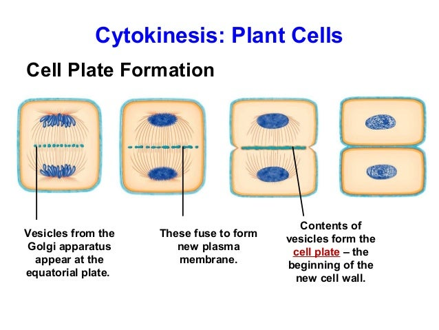 mitosis in plants cell