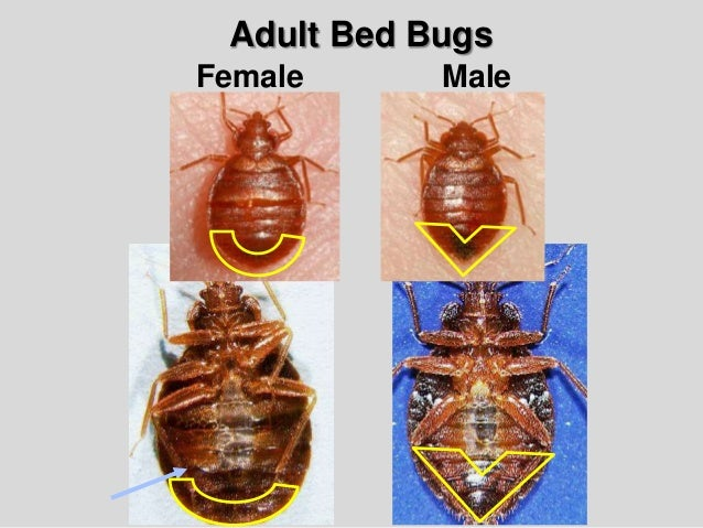 Bed Bug Biology And Research Central Ohio Bed Bug Task Force