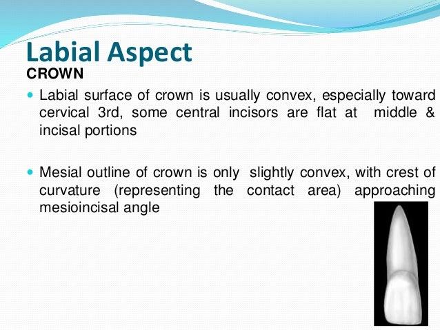 Permanent Maxillary Central Incisor
