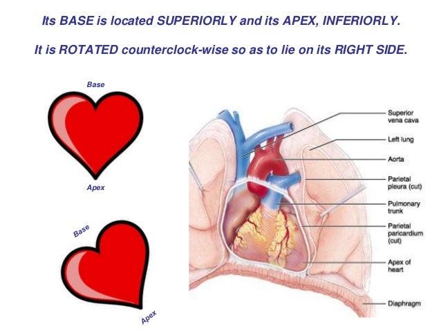 heart cardiac cycle, Cephalic Vein