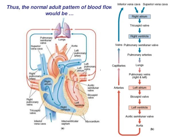 Blood Flow Pattern Heart Diagram All Kind Of Wiring Diagrams