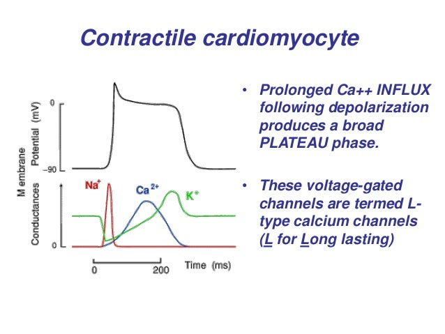 Wiggers diagram cardiac action potential with diy wiring diagrams heart cardiac cycle rh slideshare net ecg and cardiac action potential action potential of contractile cardiac muscle cells ccuart Choice Image