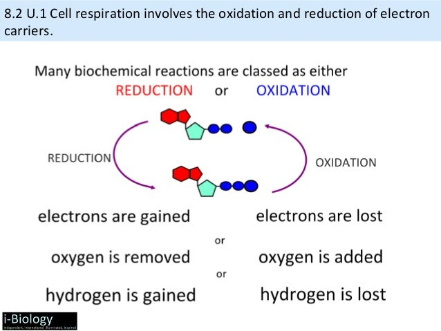 cellular respiration ib Cellular respiration practice exam tools copy this to my account e-mail to a friend find other activities start over print help this activity was created by a.