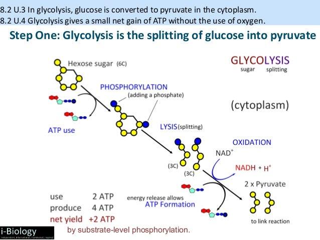 Ib biology cellular respiration 2015ppt 29 ccuart Choice Image