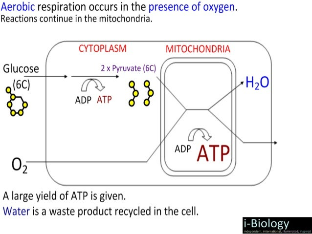 Ib biology cellular respiration 2015ppt aerobic anaerobic ccuart Choice Image