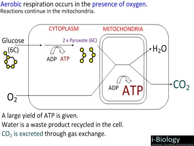 Ib Biology Cellular Respiration 2015 Ppt