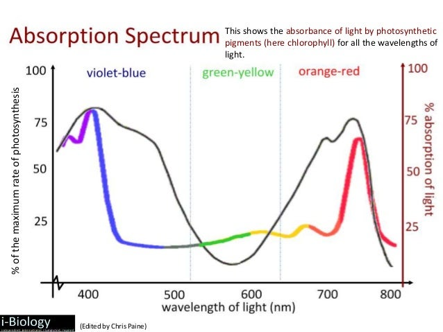 the rate of photosynthesis determined by Light and photosynthetic pigments  in photosynthesis, carotenoids help capture light, but they also have an important role in getting rid of excess light energy.