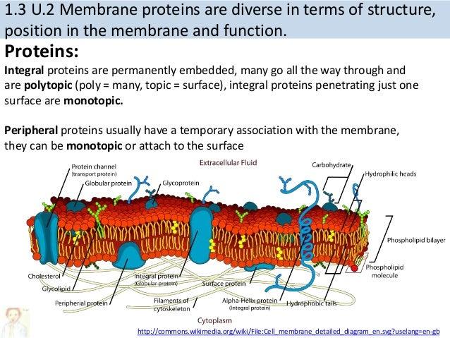 13 membrane structure 8 ccuart Images
