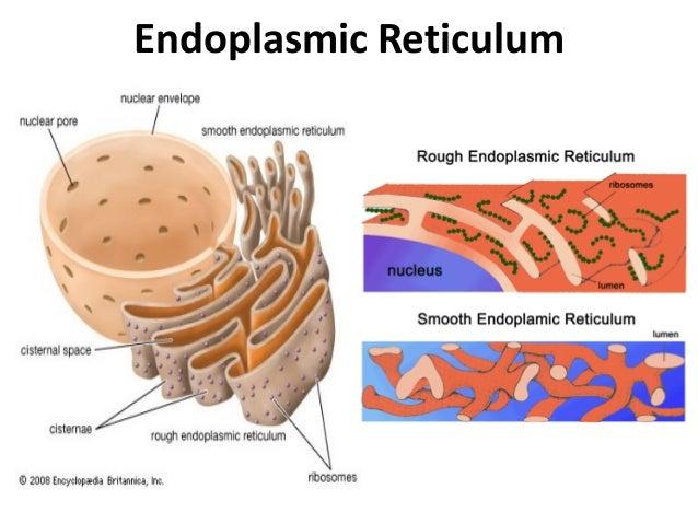 diagram endoplasmic reticulum - driverlayer search engine #7