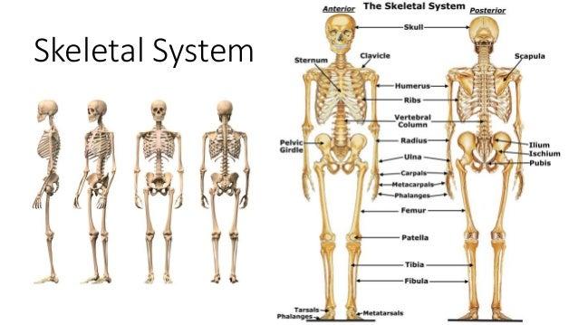 Skeletal System 1 638gcb1432217130