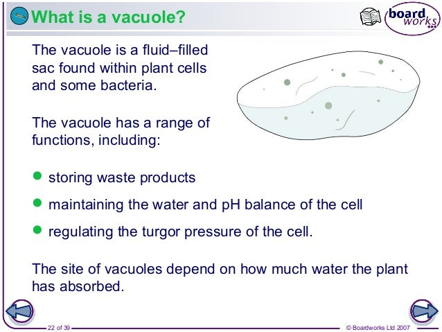 © Boardworks Ltd 200722 of 39 What is a vacuole? The vacuole is a fluid–filled sac found within plant cells and some bacte...