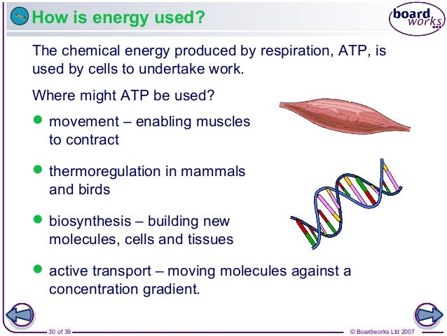 © Boardworks Ltd 200730 of 39 How is energy used? The chemical energy produced by respiration, ATP, is used by cells to un...