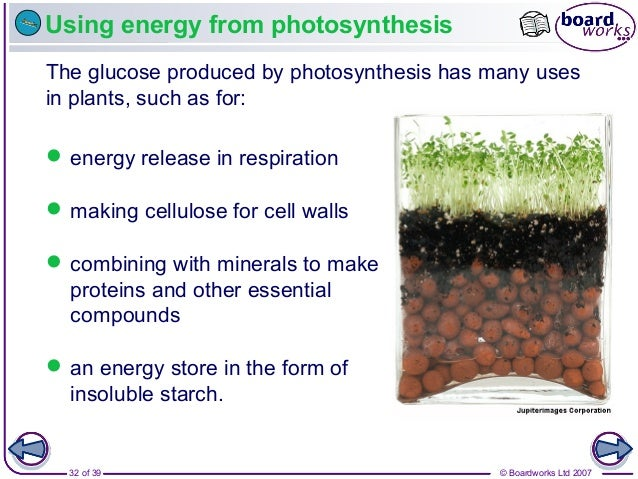© Boardworks Ltd 200732 of 39 Using energy from photosynthesis The glucose produced by photosynthesis has many uses in pla...