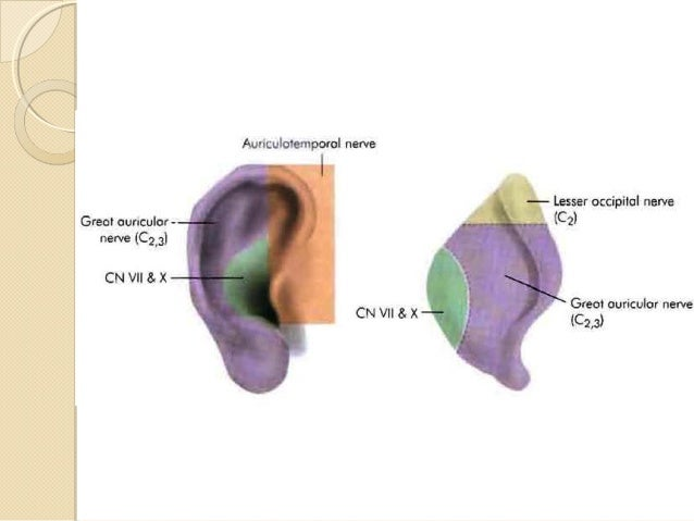 Anatomy of external ear