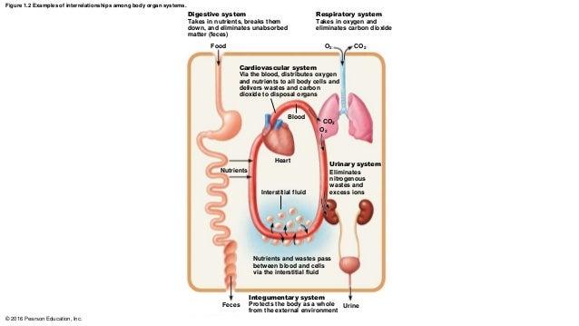 Interrelationship Organ System Body Diagram - Block And Schematic ...