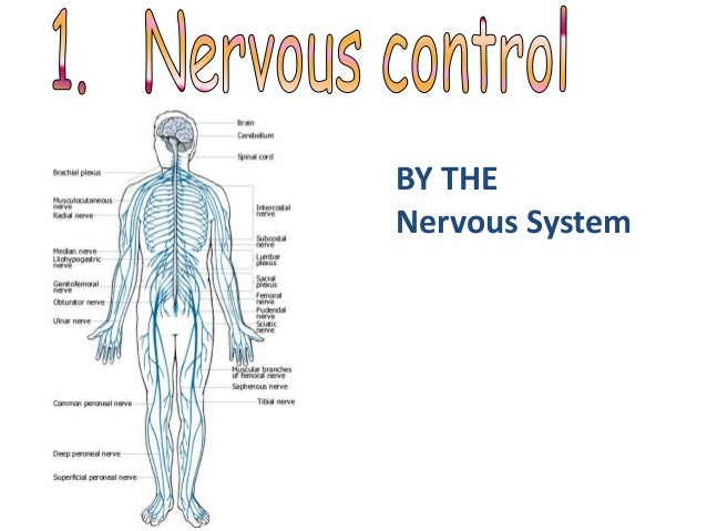 Coordination Response Part 1 The Nervous System
