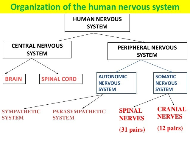 Coordination response part 1 the nervous system nervous system sympathetic system parasympathetic system 27 ccuart Gallery