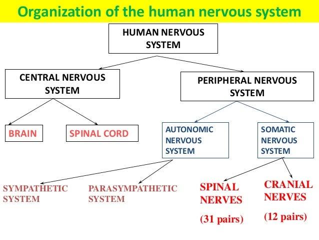 Coordination & Response Part 1 - The Nervous System