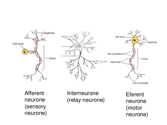 Coordination response part 1 the nervous system structure of a afferentsensory neurone ccuart Gallery